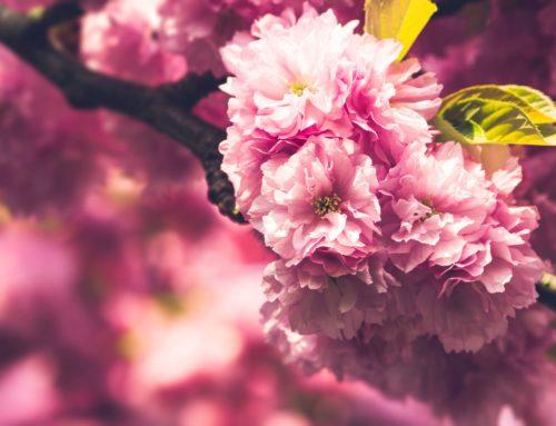 Japanische Kirschblüten – Blütenzweig im Magdeburger Holzweg IX