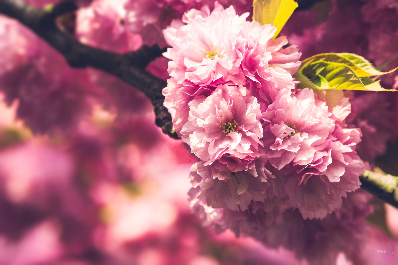 Japanische Kirschblüten - Blütenzweig im Magdeburger