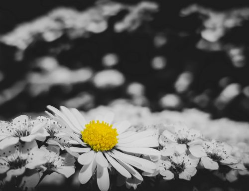 Gänseblümchen & Kirschblüten – daisy & cherry blossom