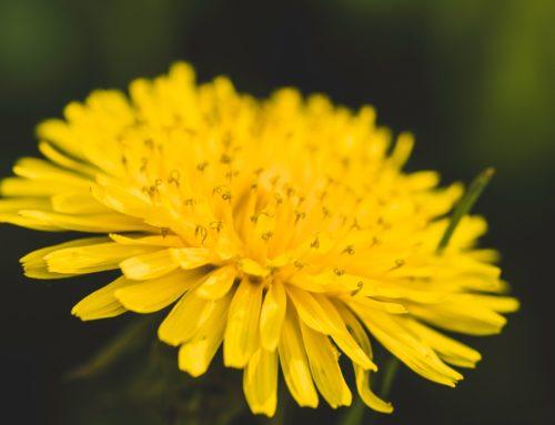 Löwenzahn Blüte II