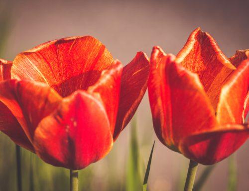 Zwei Rote Tulpen im Gras