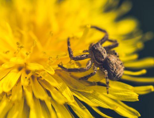 Löwenzahn mit Spinne auf Blüte