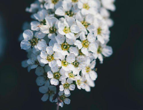 Weiße Kirschblüte – white cherry blossom