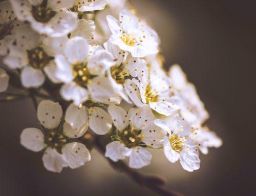 Lizenzfrei – Weiße Kirschblüte – white cherry blossom II