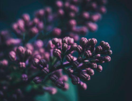 Edelflieder – lilac